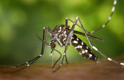 mosquittigre